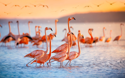 Pink flamingos during sunrise