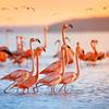 Pink flamingos during sunrise