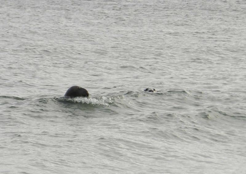 Gray Seals -- Halichoerus grypus