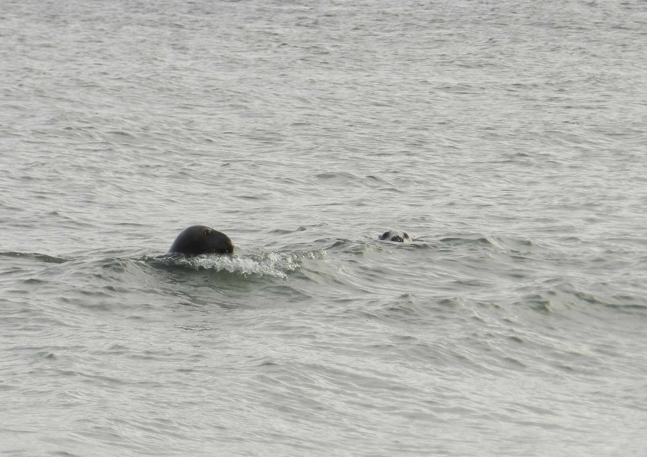 Gray Seals -- Halichoerus grypus