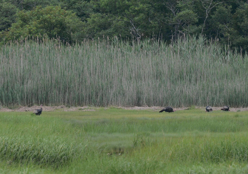 Wild Turkeys foraging in a salt marsh makes me wonder if they have an appetite for fiddler crabs...