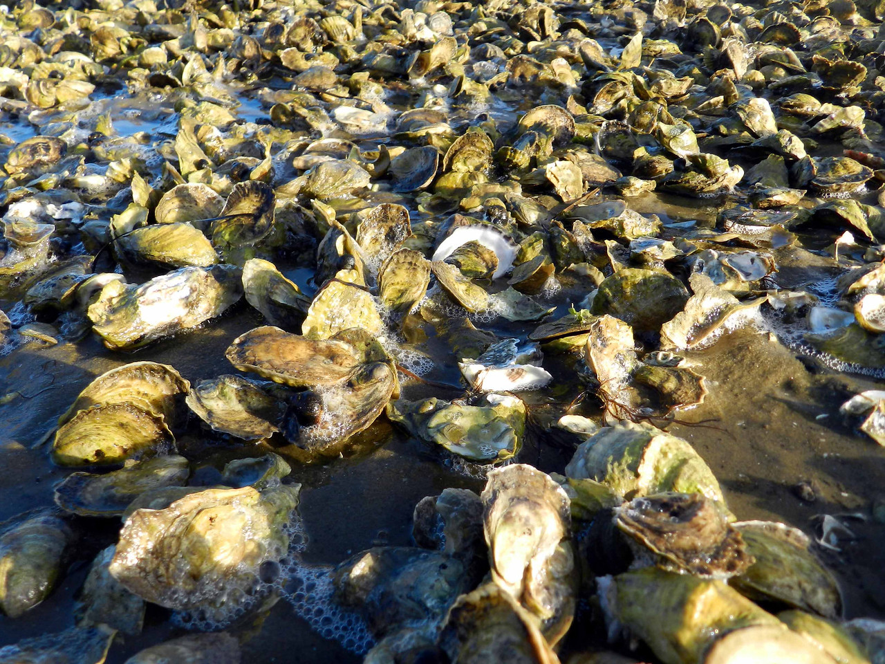 Eastern Oyster -- Crassostrea virginica.  <br /> <br /> Wellfleet is a renowned name among oyster-lovers.