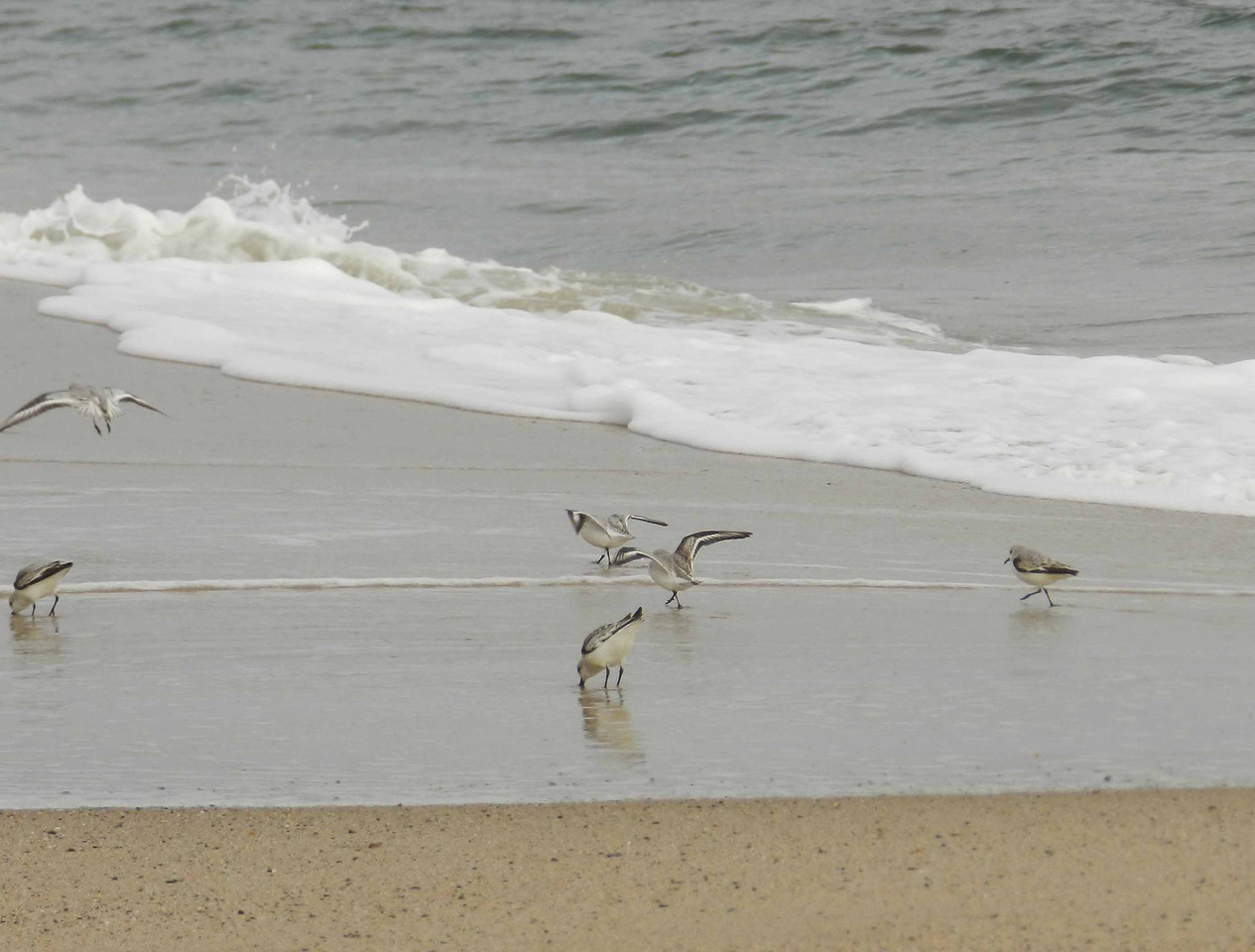 "Sanderlings -- Calidris alba, foraging the sand ridge as surf breaks and rolls over the beach.<br /> <br /> 'And the spirit runs, intermittently,<br /> In and out of the small waves,<br /> Runs with intrepid shorebirds--<br /> How graceful the small before danger!' ~ from ""North American Sequence"" by Theodore Roethke, 1964."