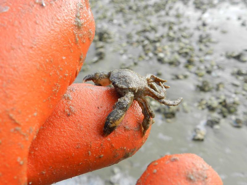 Asian Shore Crab (invasive) -- Hemigraspus sanguineus