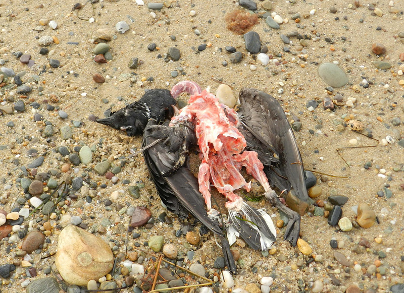 "Crows and Great Black-backed Gulls we feeding on this Brant carcass.  In another 40 minutes it was picked clean.<br /> <br /> 'Out of the mother; and through the spring exultances, ripeness and decadence; and home to the mother.' ~ from ""Shine, Perishing Republic"" by Robinson Jeffers"