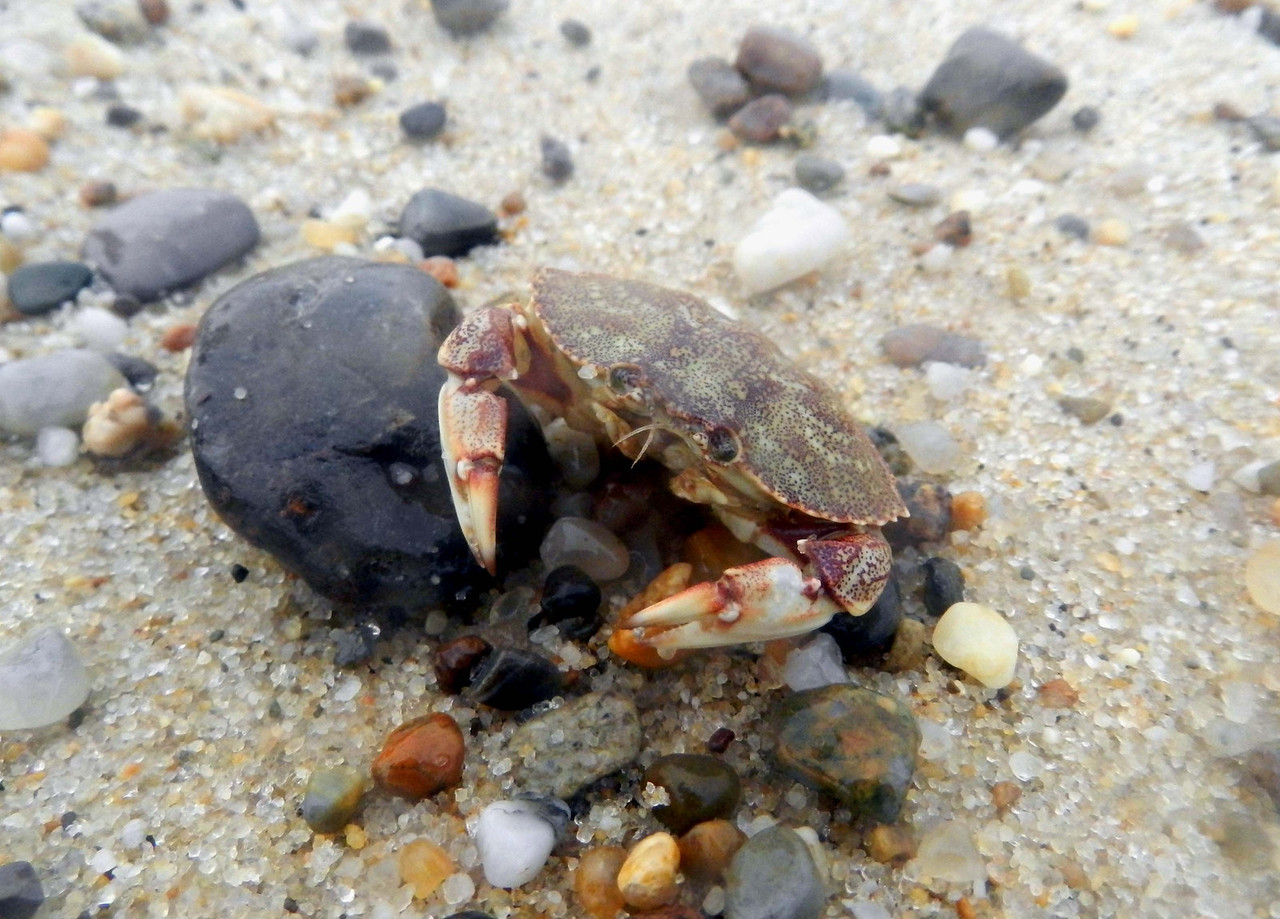 Atlantic Rock Crab -- Cancer irroratus<br /> <br /> 'Grandfather, Great Spirit:  grant that I may feel the rapture in your little things that I do when I gaze upon your grand vistas.' ~ Stalking Wolf, May 1959.