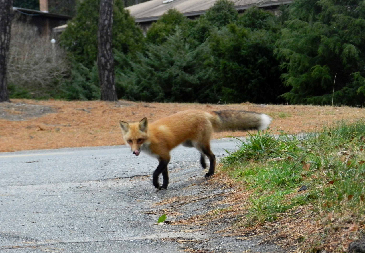"Red Fox -- Vulpes fulva, seem to be thriving on the Cape, where the terrain provides many locations for dens and burrows.  <br /> <br /> 'Exploiter of the shadows<br /> He moved among the fences,<br /> A strip of action coiling<br /> Around his farmyard fancies...' ~ from ""Fox"" by Clifford Dyment"