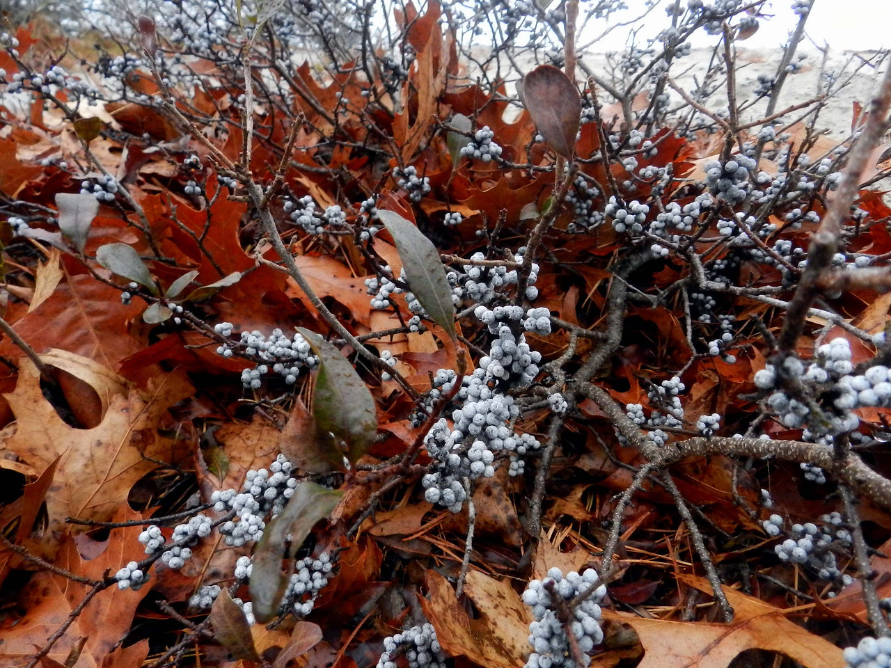 "Bayberry -- Myrica spp., in the parabolic dunes near Provincetown<br /> <br /> ""The past is the present, isn't it?  It's the future too."" ~ Eugene O'Neill, ""Long Day's Journey Into Night"""