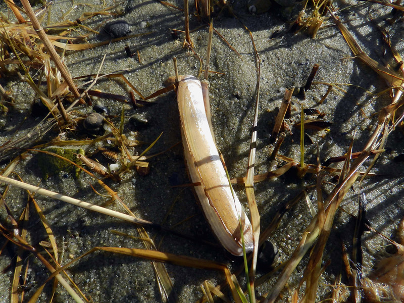 Common Razor Clam -- Ensis directus, something of a delicacy, but not very commonly sought on the East Coast