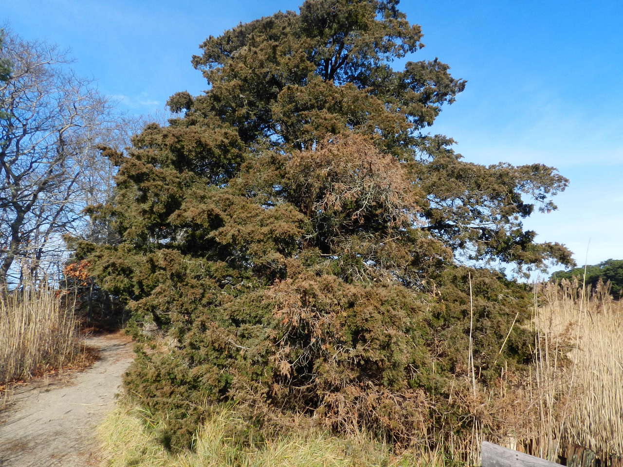 Eastern Redcedar -- Juniperus virginiana, is actually a juniper and distant relative of cedars
