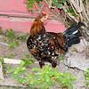 Free range Tortola chicken