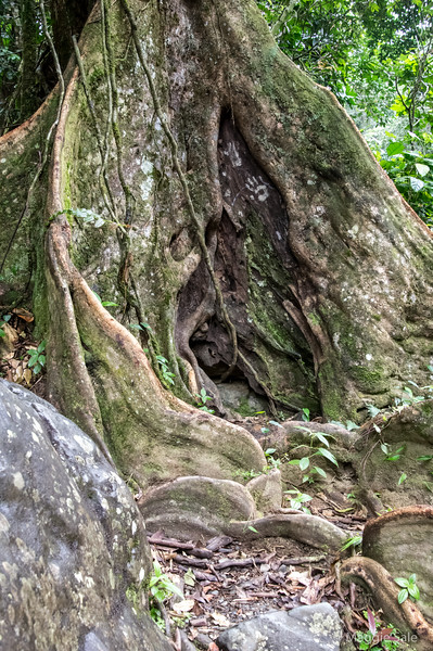 Buttress roots of a tree growing beside the river. These roots help anchor the trees during floods.