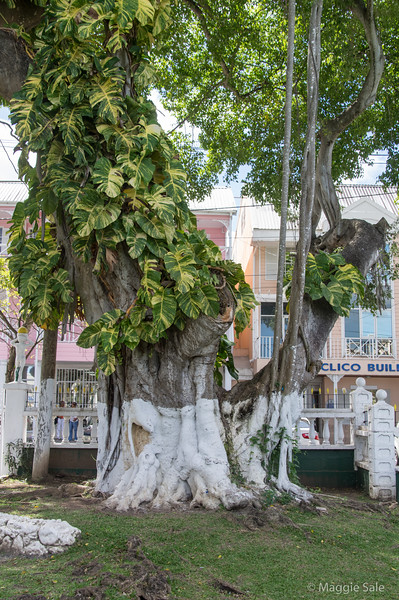 Very large trees with tropical vines growing up them.