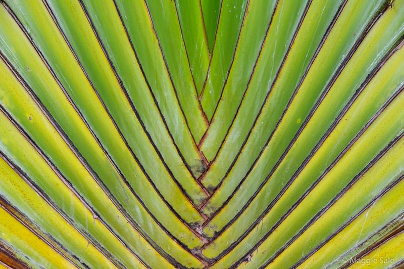Fan palm in Gustavia