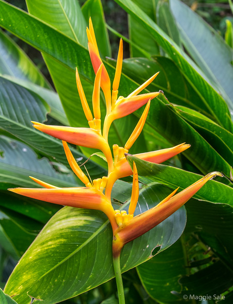 Heliconia flowers in Barbados.