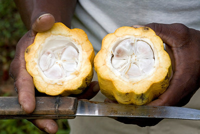 Cocoa pod (Theobroma cacao) cut open exposing the beans inside, Dominica, West Indies