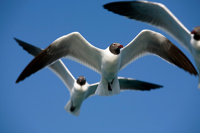 Laughing Gulls in flight, Caribbean