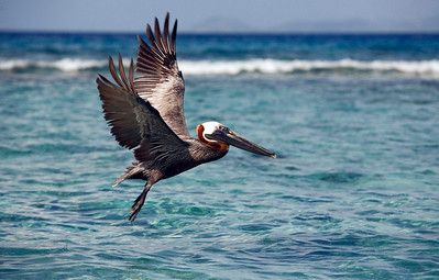 Brown Pelican (Pelecanus occidentalis), British Virgin Islands