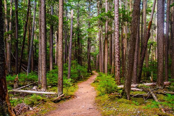 Trail among Cedars
