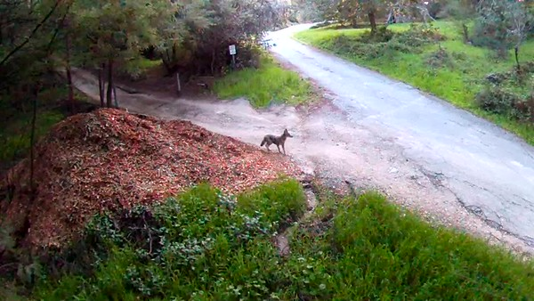 An anxious (young?) coyote.