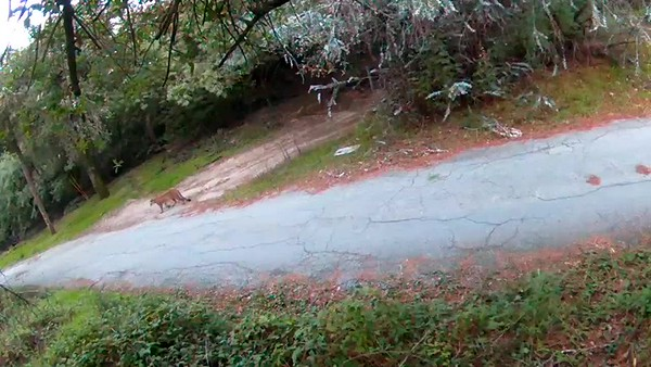 12/22/2017, 8:00am. Mountain lion walking down the driveway.
