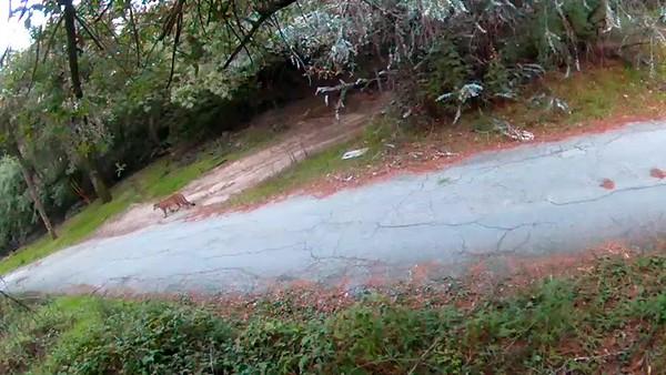 12/22/2017, 8:00am. Mountain lion walking down the driveway.