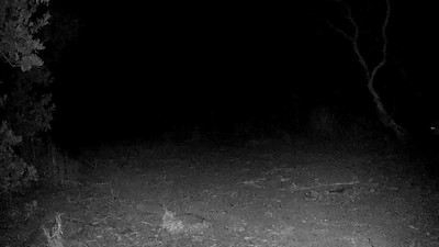 Lion. 9/1/18, about 9:30 pm. (It's the cat from the previous image; that camera is on standard time.)