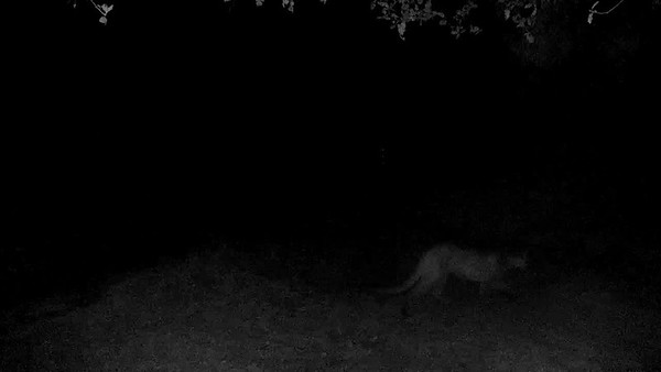 10/28/18 8:32pm This animal just walked into the frame from the preceding video