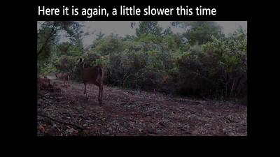 Another deer-coyote encounter