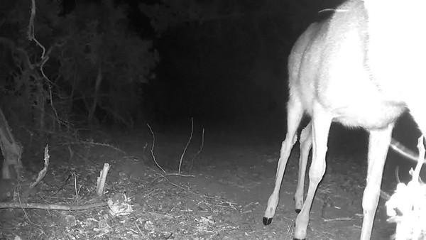 Deer spooked by camera