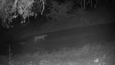 Female with cubs, Nov. 2, 2020