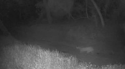 Puma with kitten