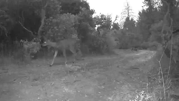 deer and foxes sharing the path