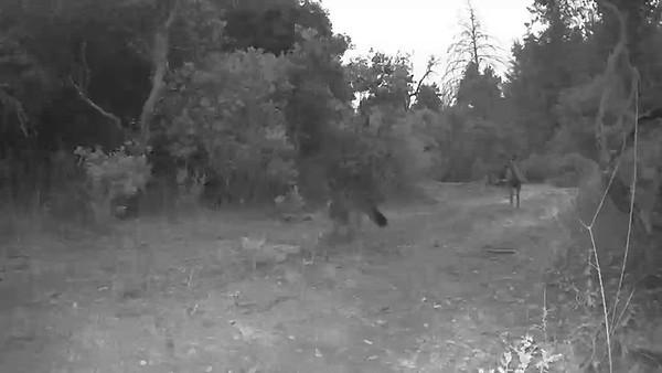 deer and fox  encounter