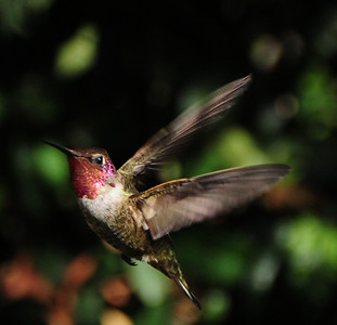 Male Anna's Hummingbird. Taken in Escondido August 2012.