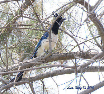 Black-throated Magpie Jay - 7/28/13 - Bird and Butterfly Garden