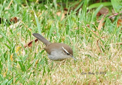 Bewick's Wren in our backyard, 1/27/2013.