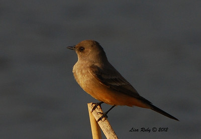 Say's Phoebe - 2/12/2012 - San Jacinto Wildlife Area
