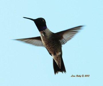 Black-chinned Hummingbird  - 8/15/13 - Our Backyard Sabre Springs