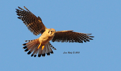 American Kestrel - 6/17/13 - Sabre Springs open space, one of a family of five