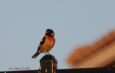 Black-headed Grosbeak - 5/28/12 - Sabre Springs Creek