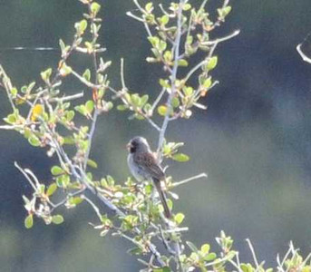 Black-chinned Sparrow - 5/26/13 - Kitchen Creek, Pacific Crest Trail
