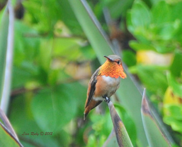 Allen's Hummingbird - 6/18/12 - Backyard Sabre Springs