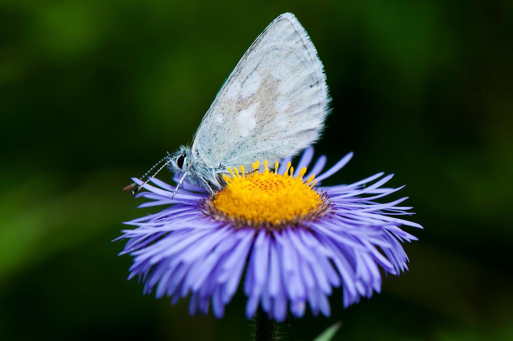 Alpine Blue Agriades orbitulus