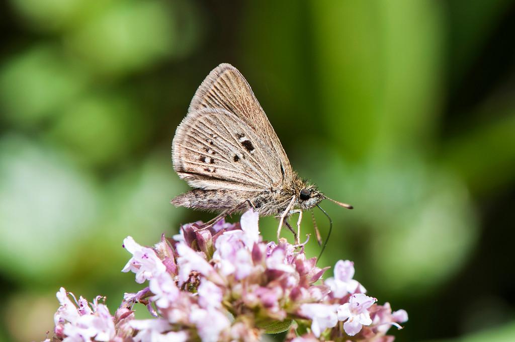Aeromachus propinquus