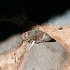 West Himalayan Marbled Flat <em>(Lobocla liliana ignatius)</em>