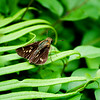 Common Straight Swift (Parnara guttata)