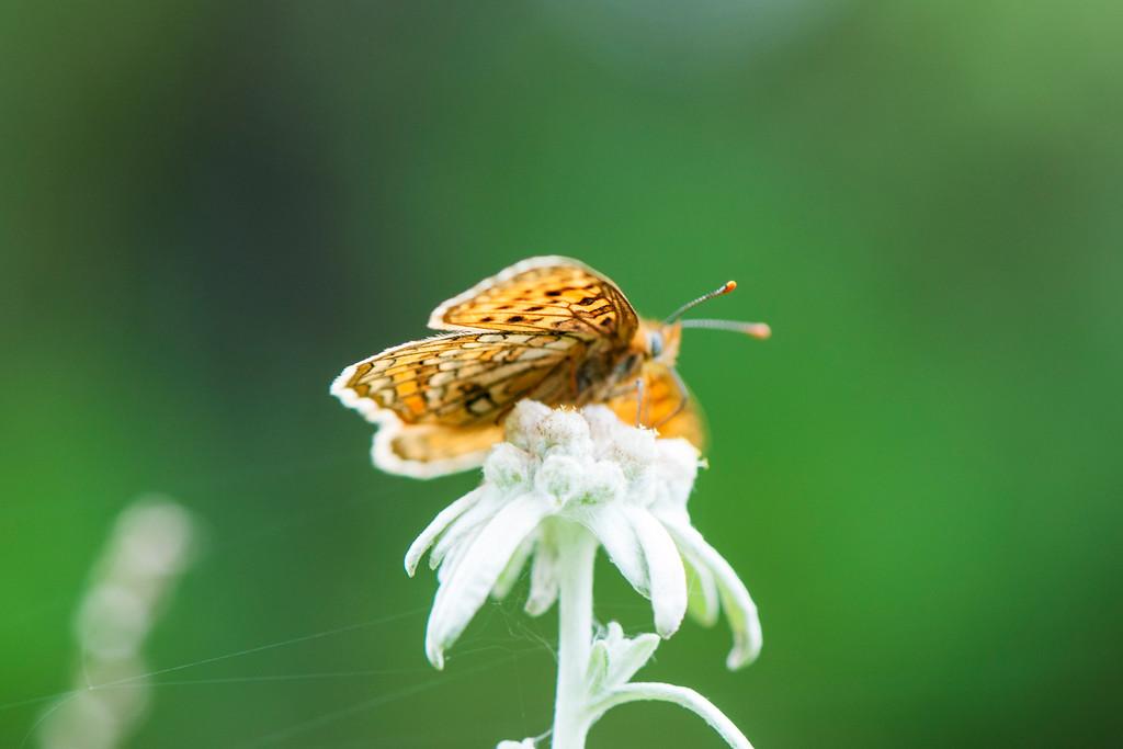 Melitaea jezabel yunnana