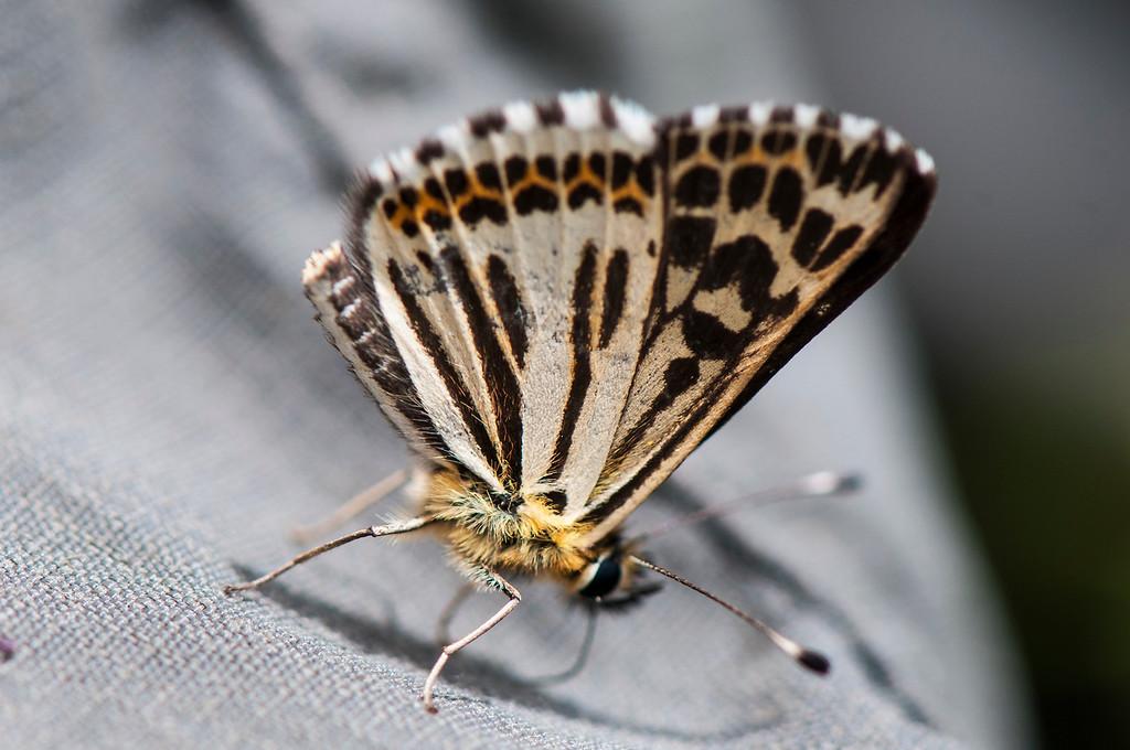 Polycaena chauchowensis