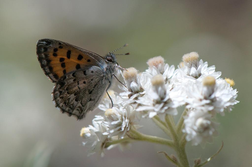 Mariposa Copper (Lycaena mariposa)